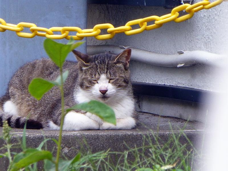 黄色チェーン越しの猫2