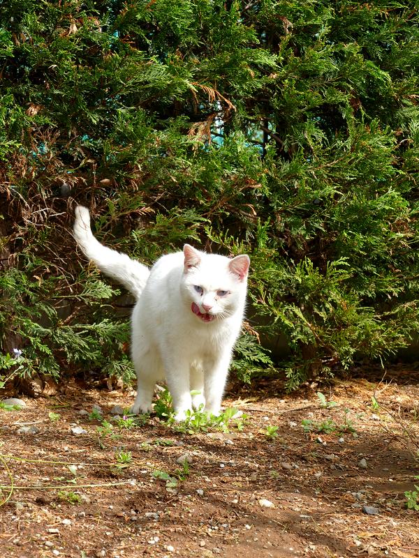茂みに向かって尻尾を立ててる白猫3