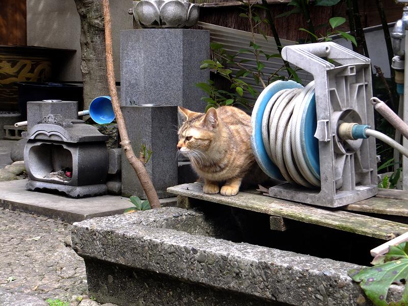 低い手水舎のサビ柄猫1