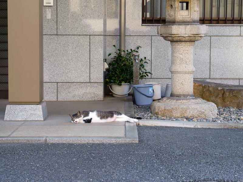 社務所前の白キジ猫1