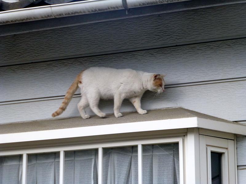 出窓の庇を歩く白茶猫1
