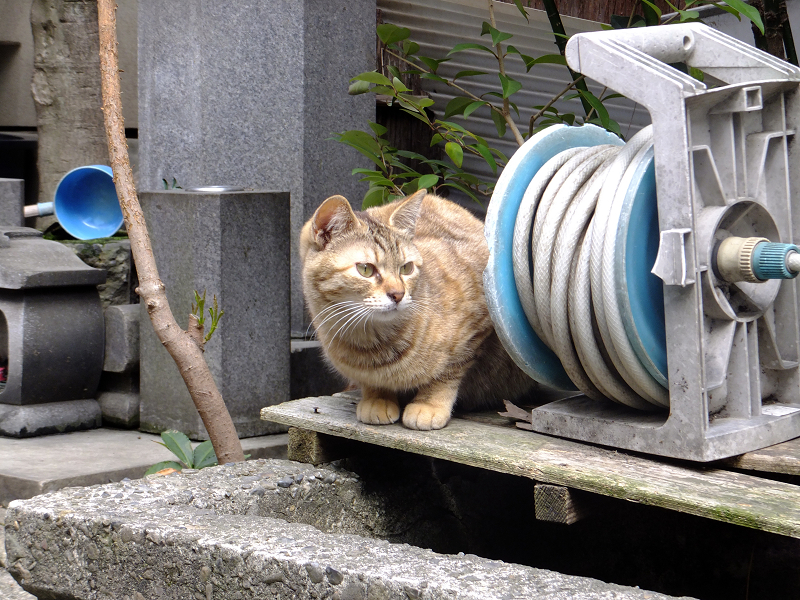 低い手水舎のサビ柄猫2