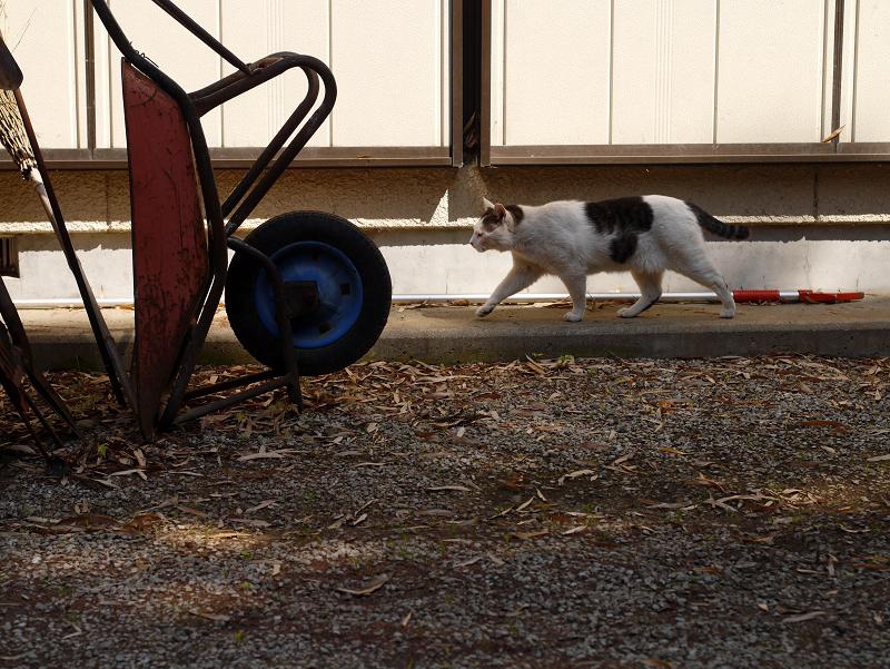 犬走りを歩く白キジ猫