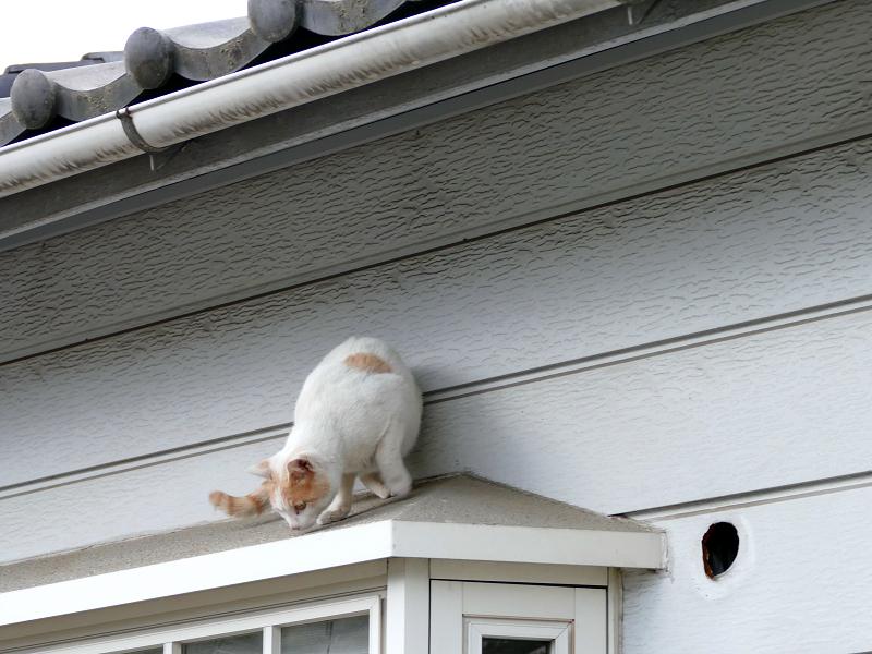 出窓の庇を歩く白茶猫2