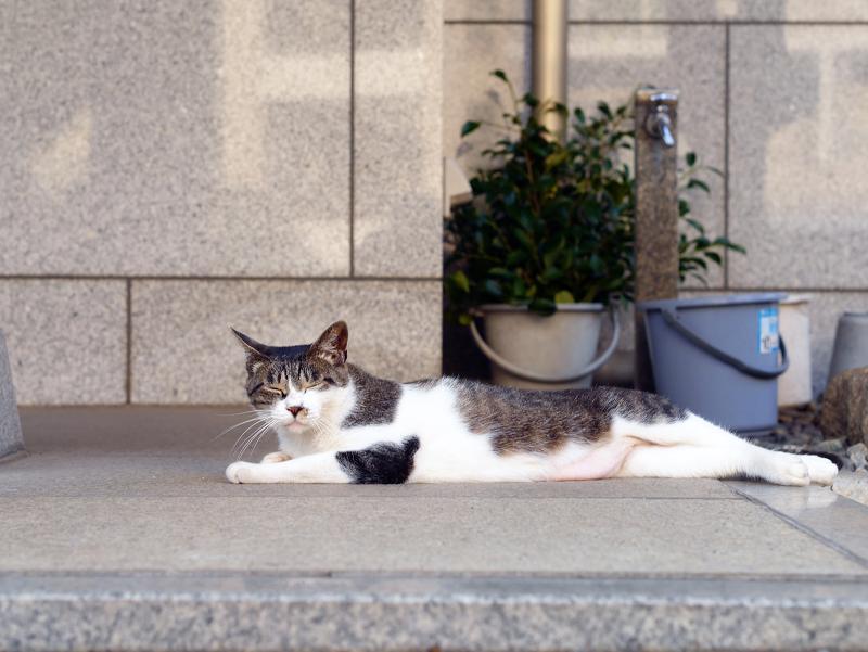社務所前の白キジ猫3