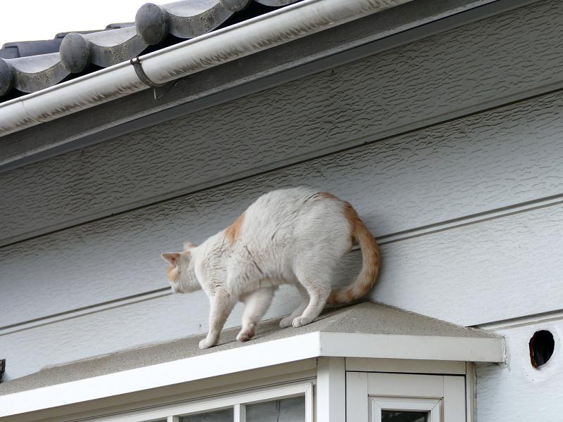 出窓の庇を歩く白茶猫3