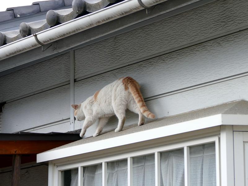 出窓の庇を歩く白茶猫4
