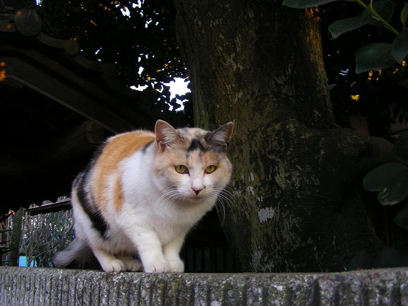 民家ブロック塀の飼い猫たち1