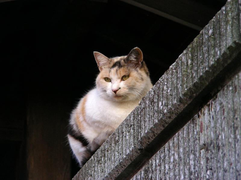 民家ブロック塀の飼い猫たち2