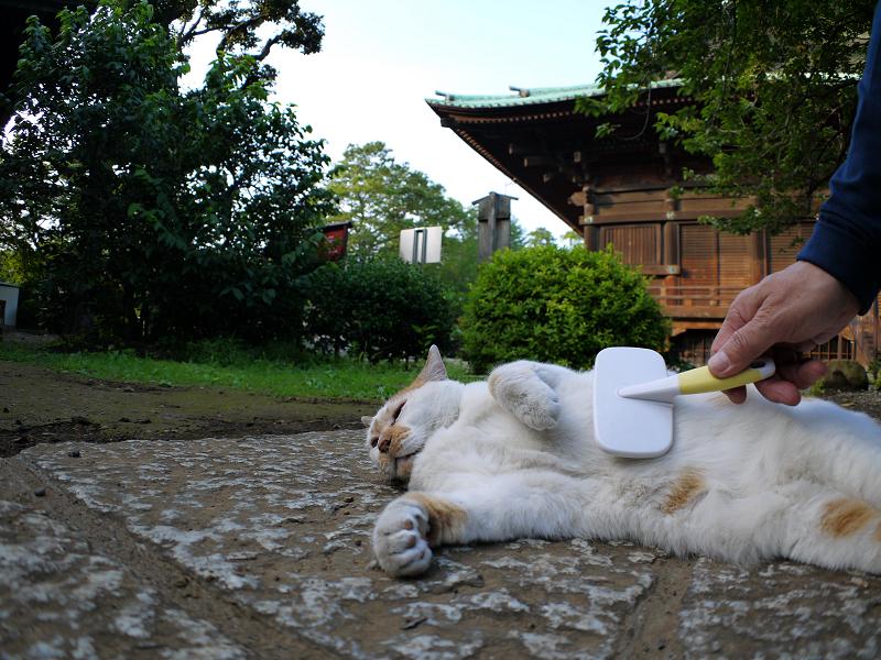 茶白猫のお腹をブラッシング1