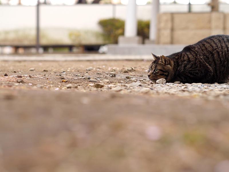 狙ってるキジトラ猫