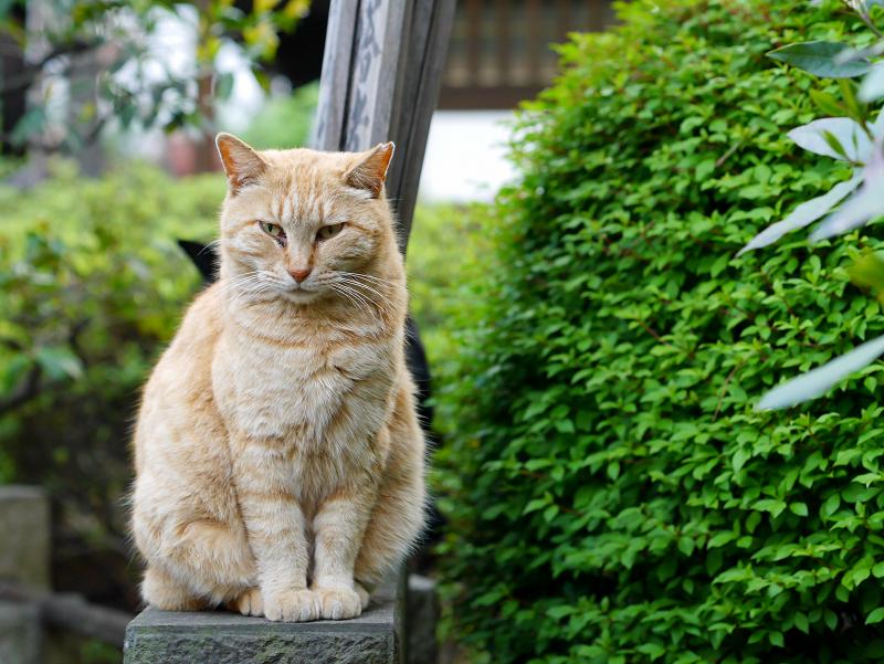 石碑に乗った茶トラ猫1