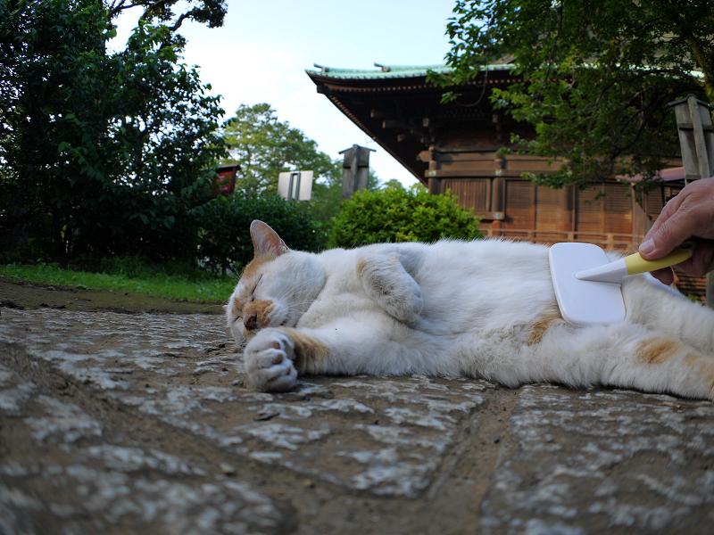 茶白猫のお腹をブラッシング2