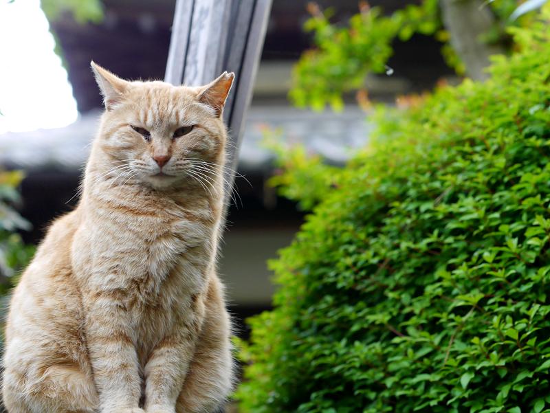 石碑に乗った茶トラ猫2