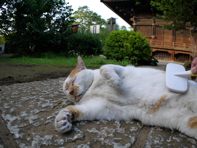 茶白猫のお腹をブラッシング3