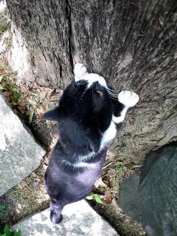 イチョウで爪研ぎ黒白猫2