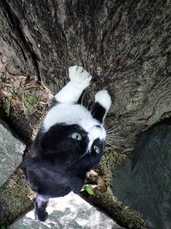 イチョウで爪研ぎ黒白猫3