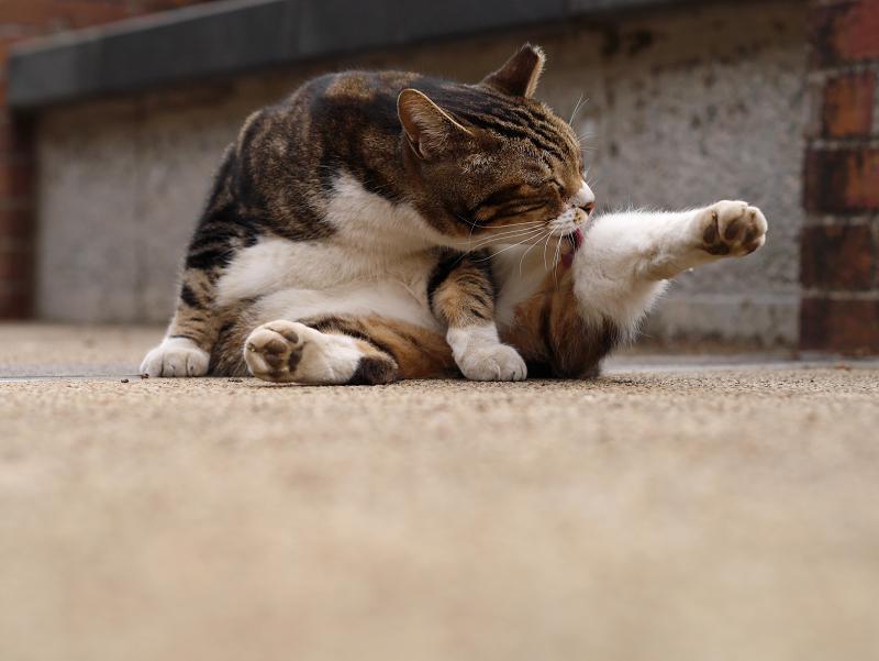 足が水平のキジ白猫1