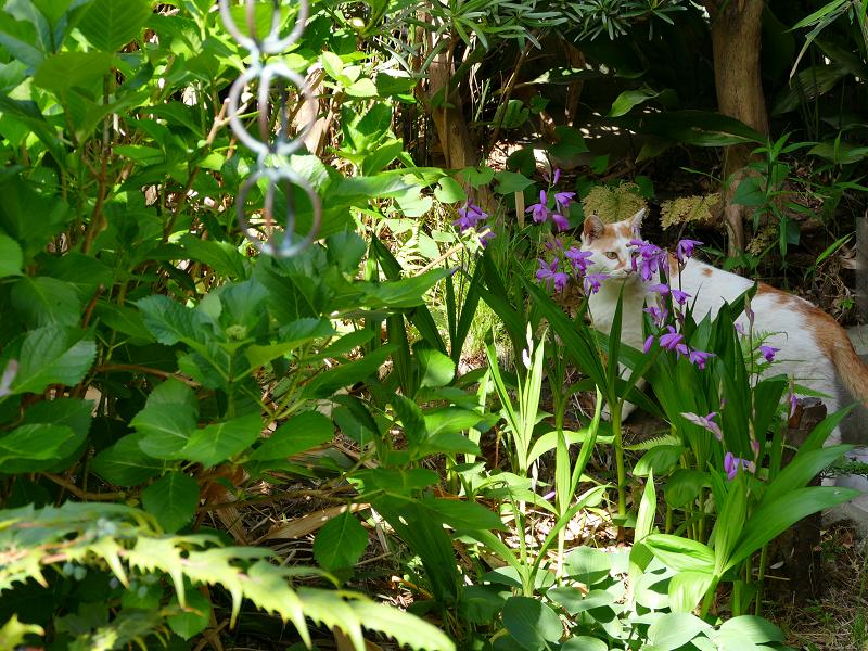 庭の白茶猫1