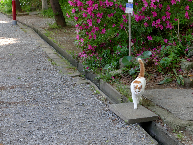 歩み寄って来た白茶猫1