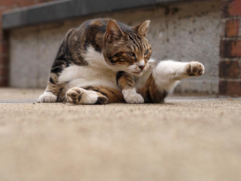 足が水平のキジ白猫2