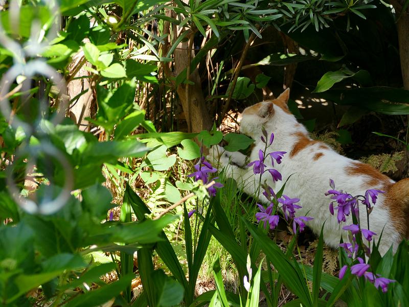 庭の白茶猫2