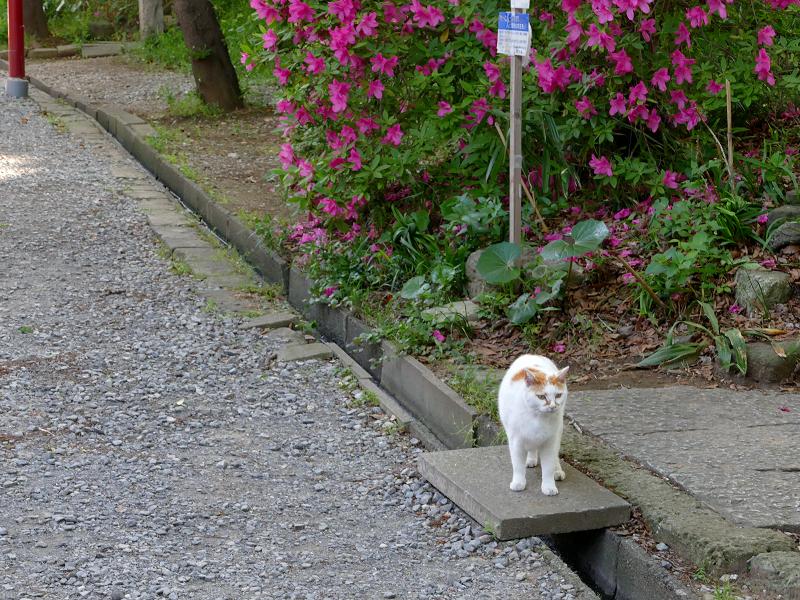 歩み寄って来た白茶猫2