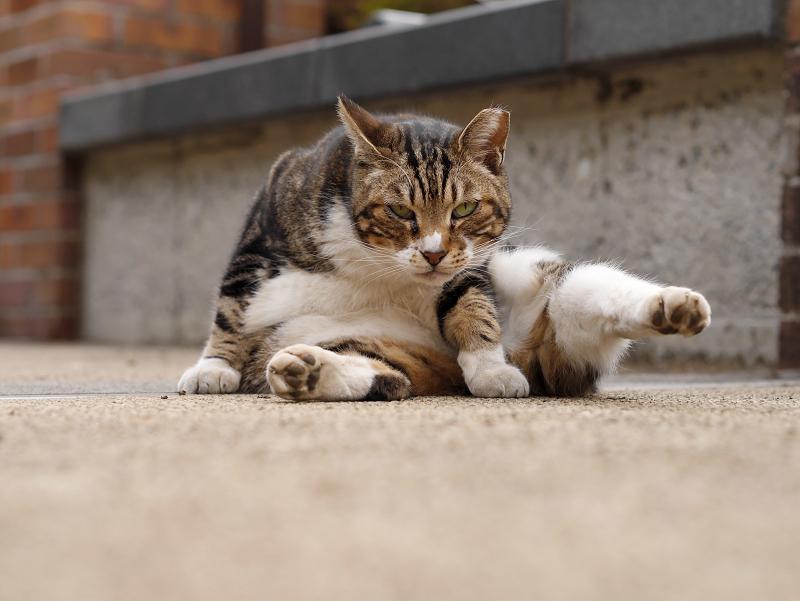 足が水平のキジ白猫3