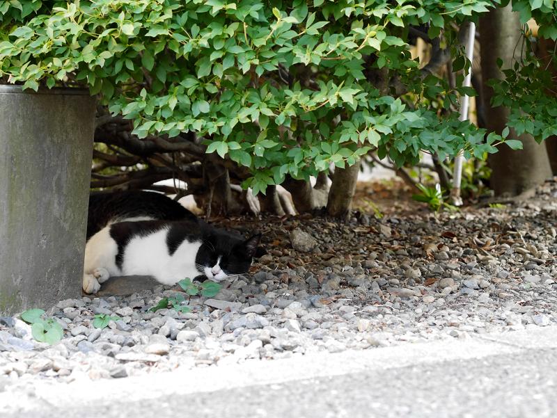 茂みの陰と黒白猫1