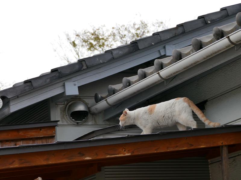 玄関庇を歩く茶白猫1
