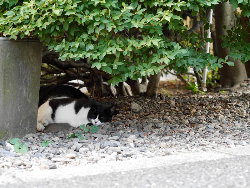 茂みの陰と黒白猫2