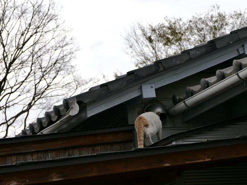 玄関庇を歩く茶白猫2