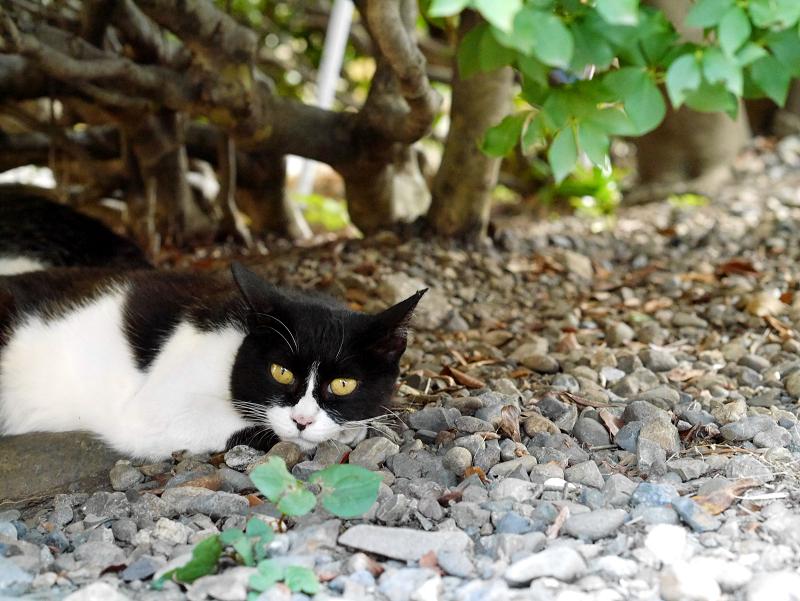 茂みの陰と黒白猫3