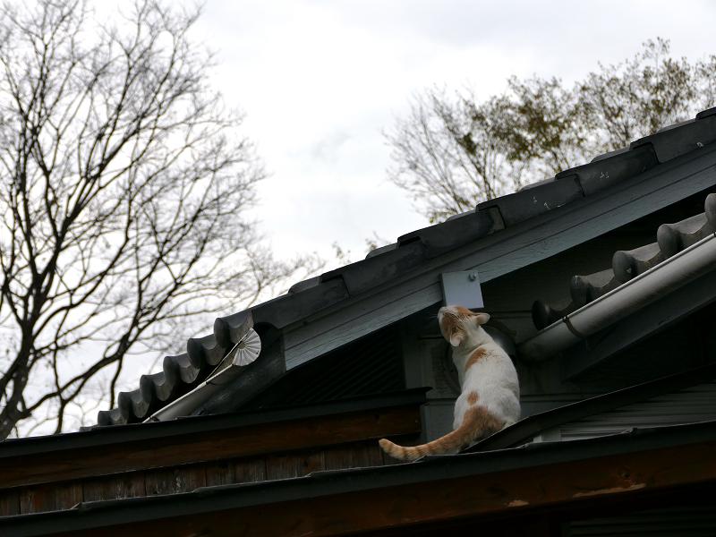 玄関庇を歩く茶白猫3