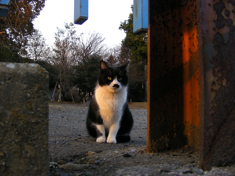 夕日を浴びてる黒白猫1