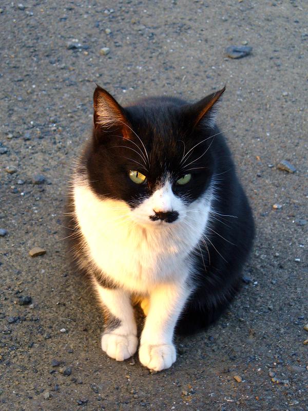 夕日を浴びてる黒白猫2