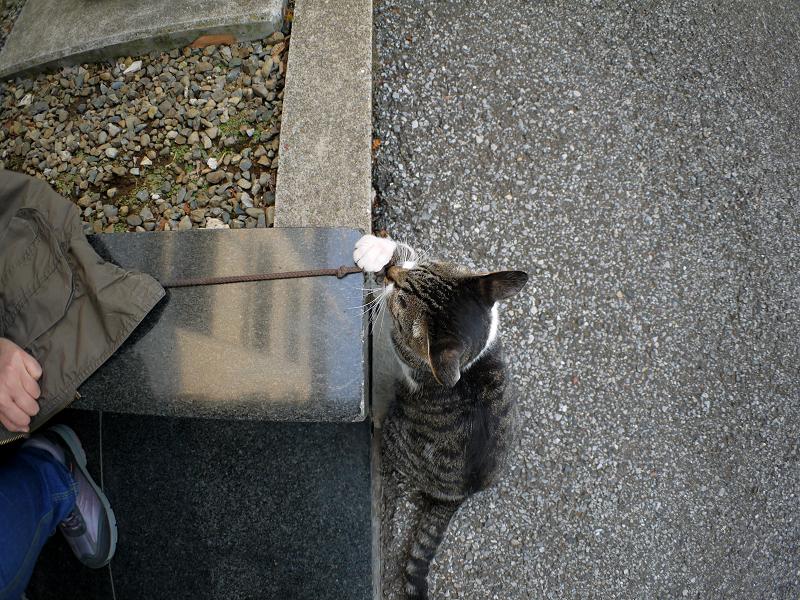 まだまだ紐で遊ぶキジ白猫1