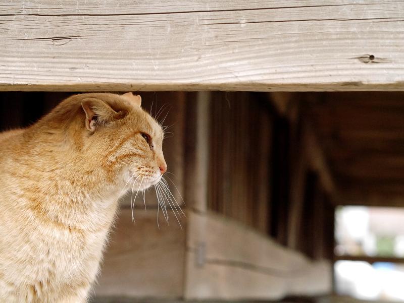 濡れ縁下の茶トラ猫1