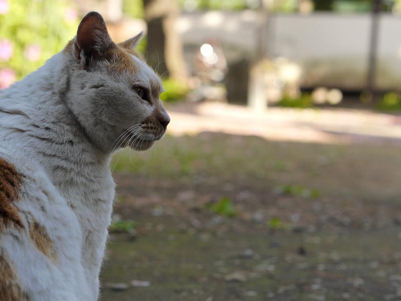 日影の白茶猫の横顔1