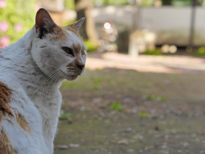 日影の白茶猫の横顔2