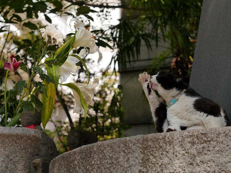 青空下で毛繕いの黒白猫2