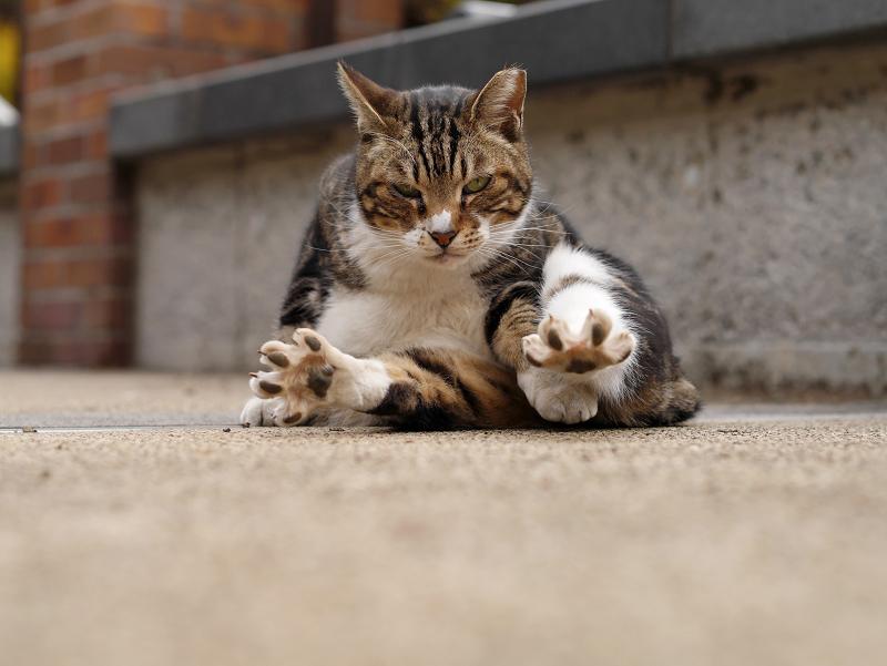 指を広げたキジ白猫1