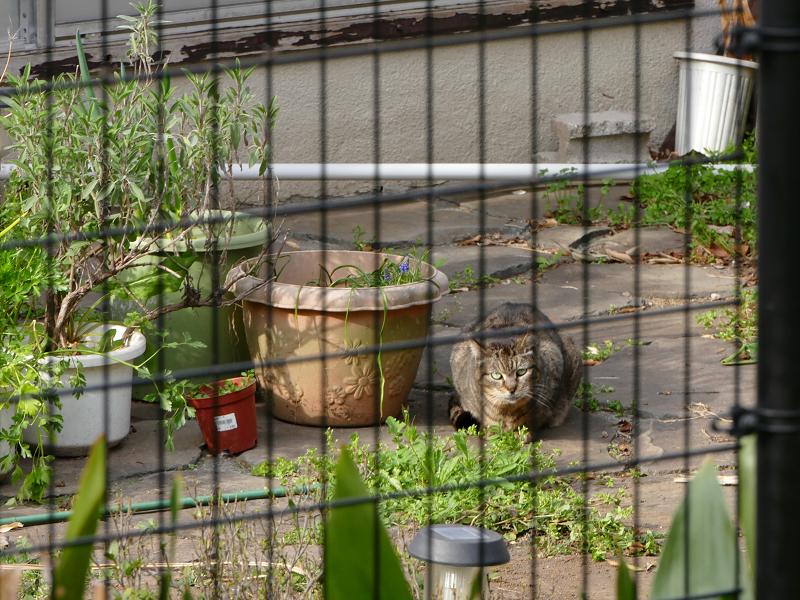 民家の庭のキジトラ猫1