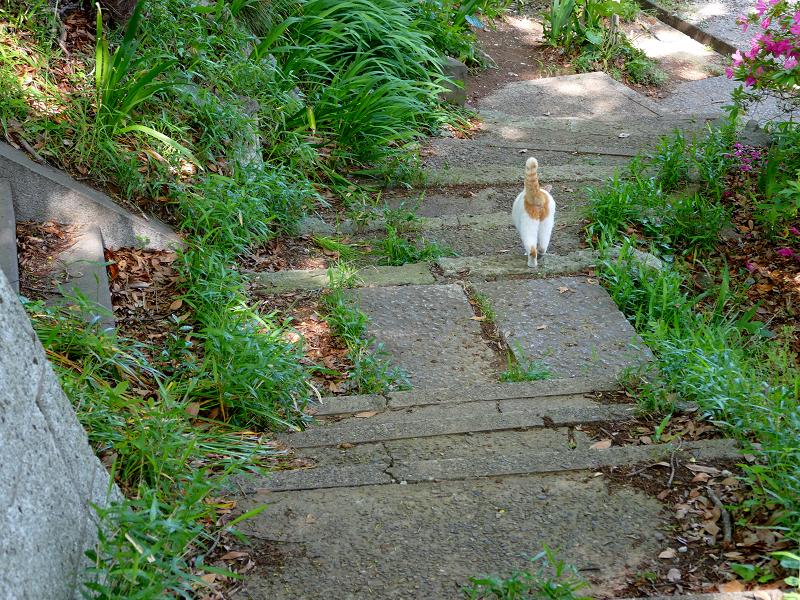 歩く白茶猫1