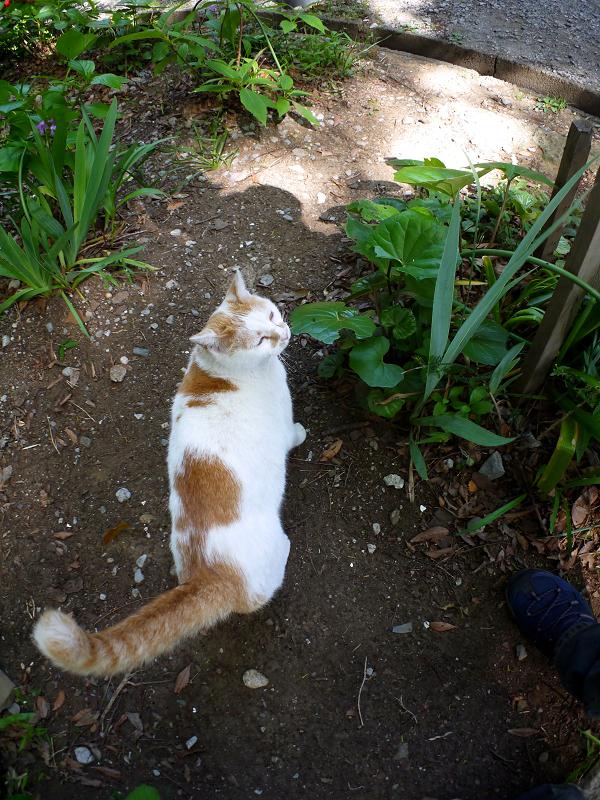 歩く白茶猫2