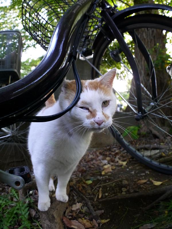 自転車と白茶猫2