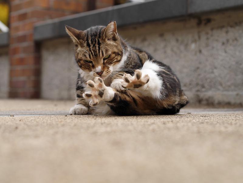 指を広げたキジ白猫2