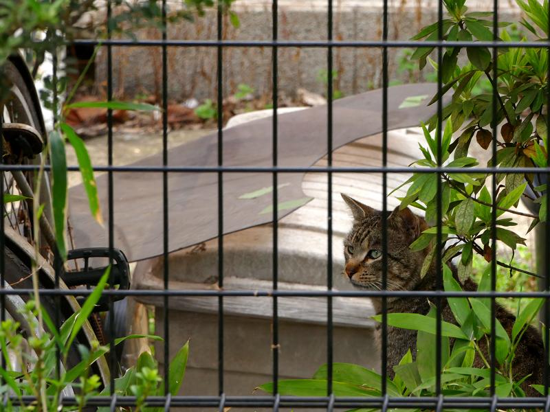 民家の庭のキジトラ猫2