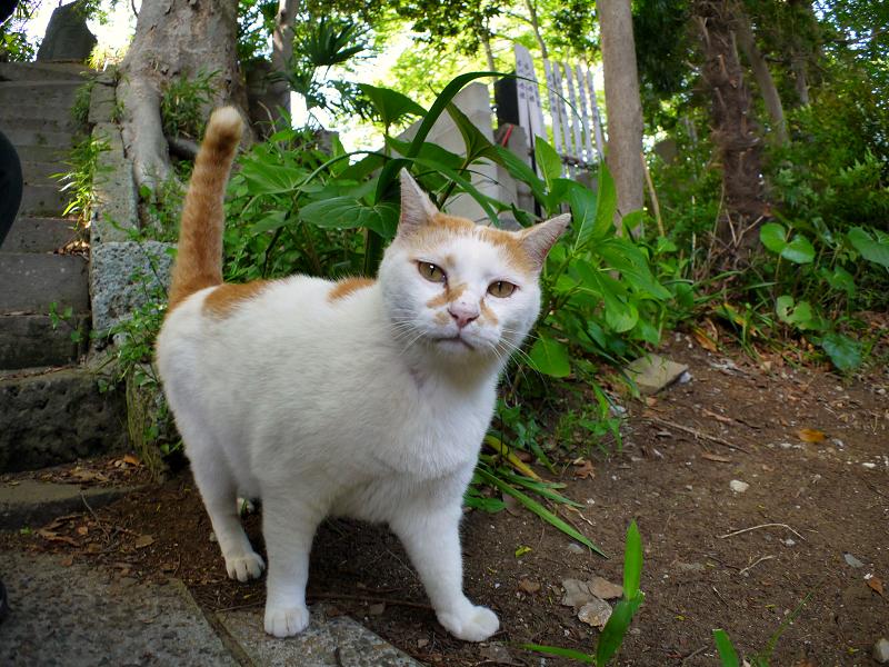 歩く白茶猫3