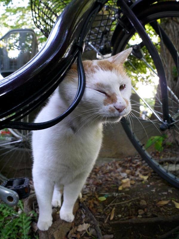自転車と白茶猫3